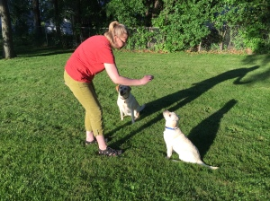 Thanks to Northern Lakes Labradors, Shadow has some started training, which is making my job much easier.